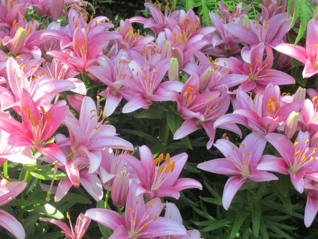 Asiatic Lilies from my courtyard garden.
