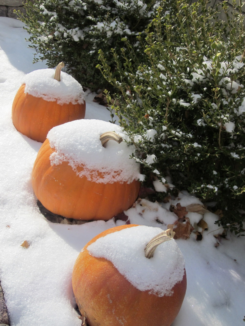 Pumpkins with a dusting of snow!